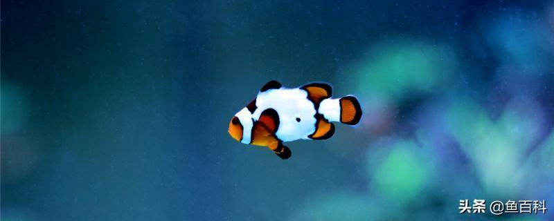 养小丑鱼需要什么设备(如何喂养小丑鱼)插图